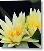 Water Lily Yellow Nymphaea Metal Print