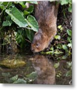 Water Vole Metal Print