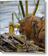 Water Vole Cleaning Metal Print