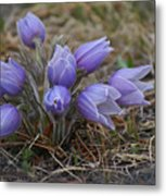 Watercolor Pasque Flowers Metal Print