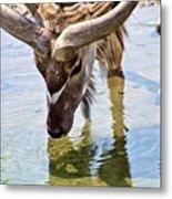 Watering Kudu Metal Print