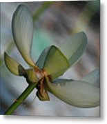Waterlily Wash  Peekaboo Metal Print