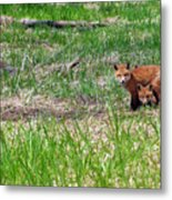 We Are 3 Red Fox Puppies Metal Print
