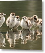 We Are Family - Seven Egytean Goslings In A Row Metal Print
