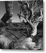 Weather Beaten Pine Tree And Ocean Bay - Monochrome Metal Print