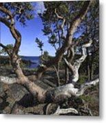 Weather Beaten Pine Tree At The Coast Metal Print