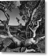 Weather Beaten Pine Tree At The Coast - Monochrome Metal Print