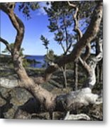 Weather Beaten Pine Tree At The Swedish High Coast Metal Print
