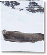 Weddell Seal On Ice Metal Print