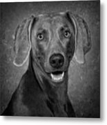 Weimaraner In Black And White Metal Print