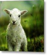 Welsh Lamb Metal Print