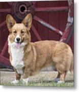 Welsh Pembroke Corgi Dog Outdoors Metal Print