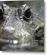 West African Dwarf Crocodile - Captive 03 Metal Print