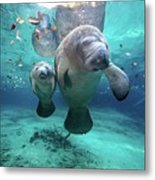 West Indian Manatees Metal Print by James R.D. Scott