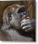 Western Gorilla, Gladys Porter Zoo, Brownsville, Texas Metal Print