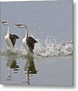 Western Grebe On Lake Metal Print
