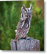Western Screech Owl Metal Print