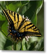 Western Tiger Swallowtail 2 Metal Print