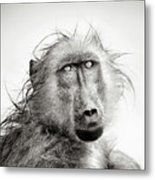 Wet Baboon Portrait Metal Print