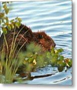 Wet Beaver Metal Print