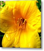 Wet Daylily Metal Print