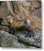 Wet Vixen On The Rocks Metal Print