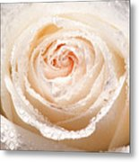 Wet White Rose Metal Print