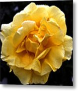 Wet Yellow Rose II Metal Print