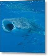 Whale Shark, Ari And Male Atoll Metal Print by Mathieu Meur