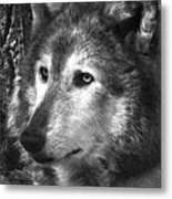 What Is A Wolf Thinking Metal Print
