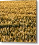 Wheat Beards Metal Print