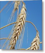 Wheat Crop Metal Print