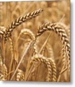 Wheat Ears 1 Metal Print