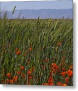 Wheat With Poppy  Metal Print