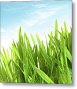 Wheatgrass Against A White Metal Print