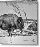 Where The Buffalo Rest Metal Print