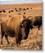 Where The Buffalo Roam Metal Print