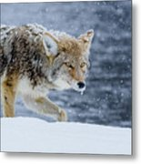 Where The Coyote Walks Metal Print