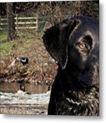Where's The Geese Labrador 4 Metal Print