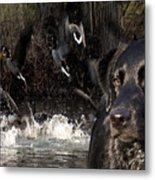 Where's The Geese Labrador 6 Metal Print