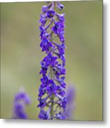 Whipple's Penstemon Metal Print