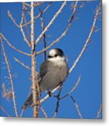 Whiskey Jack Perched On A Winter Larch  Metal Print