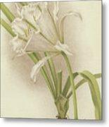 White Amaryllis   Ismene Andreana Metal Print