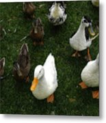 White And Brown Ducks Metal Print
