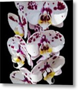 White And Magenta Orchids Metal Print