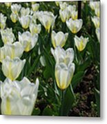 White And Pale Yellow Tulips In A Bulb Garden Metal Print