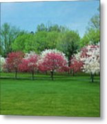 White And Pink Cherry Blossoms Metal Print