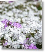 White And Pink Flowers At Botanic Garden In Blue Mountains Metal Print