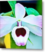 White And Purple Orchid In Greenhouse At Pilgrim Place In Claremont-california Metal Print