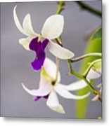 White And Purple Orchid Metal Print